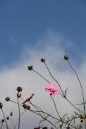 pink flower Japan