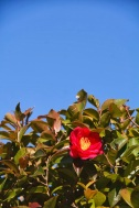 blue winter sky kyoto with camellia